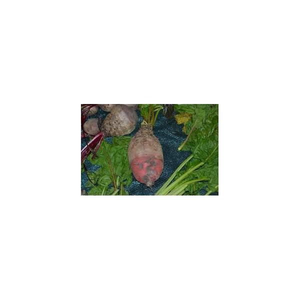 Krmná řepa červená kulatá 250g